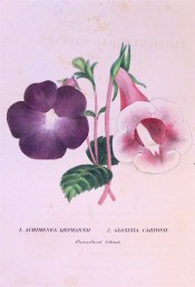 The image shows two flowers, 'Liepmanni', purple and 'Cartoni', pink.  Floricultural Cabinet p.145, 1846.