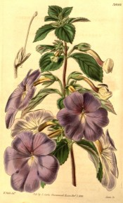 Figured is an Achimenes with hairy leaves and pale violet flowers.  Curtis's Botanical Magazine t.3980, 1842.
