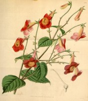Shown is an Achimenes with hairy leaves and rose-coloured flowers with a yellow eye.  Curtis's Botanical Magazine t.4144, 1845.