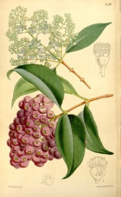 The image depicts glossy leaves, small white flowers and red fruits.  Curtis's Botanical Magazine t.5480, 1864.