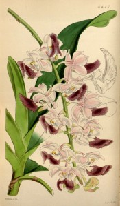 A striking orchid with pale pink flowers and prominent purple lips.  Curtis's Botanical Magazine t.4427, 1849.