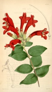 Illustrated are dark green leaves and bright red flowers with a yellow throat.  Curtis's Botanical Magazine t.4264, 1846.