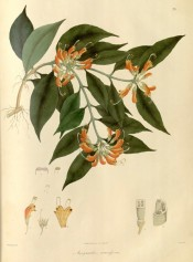lance-shaped leaves and clusters of drooping, crimson-scarlet and orange flowers.  Wallich pl.71, 1830.