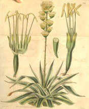 Shown are spiny, yellow-margined leaves and erect spike of white flowers.  Curtis's Botanical Magazine t.3654, 1838.