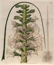 Figured is the whole plant with tall flower spike + details of flowers.  Botanical Register f.1145, 1828.