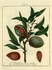 Figured is a fruiting shoot with leaves, green fruit, nut and an opened almond. Pomona Franconica vol.1, t.5, 1776.