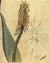 Figured is an outline of leaf rosette and flower spike with detail of leaf and flower. Curtis's Botanical Magazine t.1975, 1818.