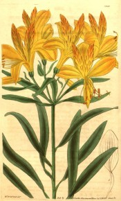 The image shows a flowering shoot with bright orange-yellow flowers.  Curtis's Botanical Magazine t.3350, 1834.