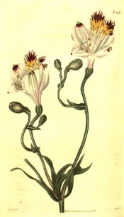 The image depicts whitish flowers with yellow and purple-brown markings.  Curtis's Botanical Magazine t.2421, 1823.