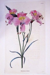 The image shows bright pink flowers with yellow, red-spotted throats.  Loddiges Botanical Cabinet no.1272, 1827.