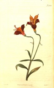 The image depicts stem, leaves and funnel-shaped flowers, orange and crimson.  Curtis's Botanical Magazine t.2353, 1822.