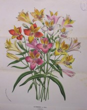 Illustrated are Peruvian Lily hybrids in a range of colours from yellow to pink.  Flore des Serres p.98 vol.1, 1845.