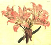 The image shows trumpet shaped flowers, pink with paler striations.  Curtis's Botanical Cabinet t.733, 1804.