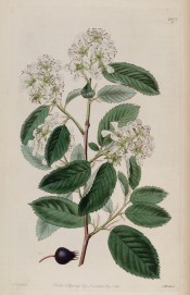 Figured are toothed leaves, racemes of small white flowers and a single purple fruit.  Botanical Register f.1171, 1828.