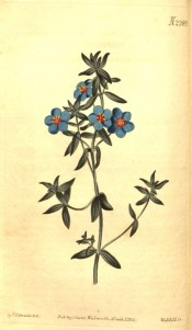 The image shows an upright shoot with bright blue flowers with a red eye.  Curtis's Botanical Magazine t.2389, 1823.