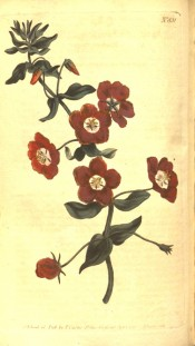 The image shows a flowering shoot with deep red single flowers with a white throat.  Curtis's Botanical Magazine t.831, 1805.