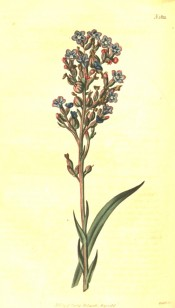 The image shows a flowering spike with small blue, pink-tinged flowers.  Curtis's Botanical Magazine t.1822, 1816.