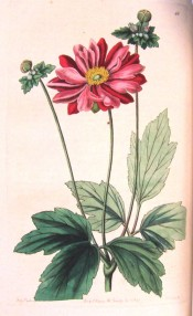 Depicted is a semi-double anemone with bright red flower.  Botanical Register f.66, 1845.