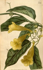 Illustrated are ovate leaves and bright yellow, funnel-shaped flowers.  Curtis's Botanical Magazine t.2148, 1820.