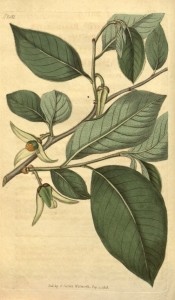 The image shows broadly ovate leaves and tree-petalled white flowers.  Curtis's Botanical Magazine t.2011, 1818.