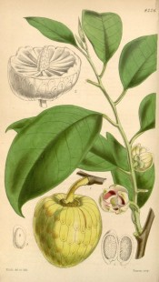 Illustrated is the large yellow fruit and broadly ovate leaves.  Curtis's Botanical Magazine t.4226,1846.
