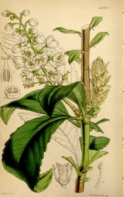 Illustrated are the lance-shaped leaves and racemes of  white, bell-shaped flowers.  Curtis's Botanical Magazine t.4377, 1848.