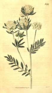 Figured are pinnate, silvery leaves and dense racemes of pale yellow flowers.  Curtis's Botanical Magazine t.1927, 1817.