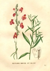 Figured are lance-shaped leaves and red and white snapdragon flowers.  Saint-Hilaire pl.307, 1831.
