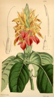 Illustrated are the broad ovate leaves and la spike of large orange-scarlet flowers.  Curtis's Botanical Magazine t.4224, 1846.