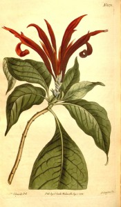 Shown are the glossy, drooping oblong leaves and  spike of showy scarlet flowers.  Curtis's Botanical Magazine t.1578, 1813.