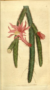 Figured is a prickly cactus with pendant, tubular stems and trumpet-shaped red flowers.  Curtis's Botanical Magazine t.17, 1787.