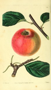 Figured is a red and yellow apple with russet streaks. Pomological Magazine t.69, 1829.