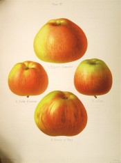 4 varieties of apple are figured here, all large to medium sized, yellow skin, striped red. Herefordshire Pomona pl.12, 1878.