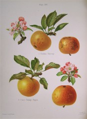 2 very similar apples are figured, both round, yellow, with fine red striations. Herefordshire Pomona pl.16, 1878.