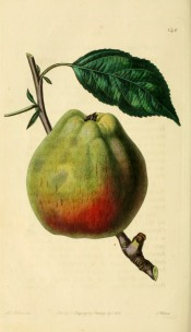 Figured is an oval, angular green apple, red on one side.  Pomological Magazine t.140, 1830.