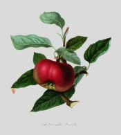 The apple figured is somewhat flattened and bright crimson. Pomona Londinensis pl.13, 1818.