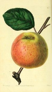 The apple figured has yellow skin flushed orange and lightly speckled with red. Pomological Magazine t.84, 1829.