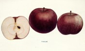 Figured are 3 deep red apples, one sectioned to show pure white flesh. Apples of New York vol.1, p.66, 1905.
