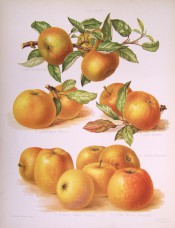 7 varieties of apple are figured, all medium sized with yellow skin sometimes mottled red. Herefordshire Pomona pl.49, 1878.