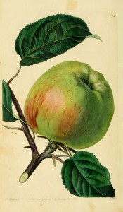 The apple figured is an irregular shape, greenish with red blush and streaks. Pomological Magazine pl.98, 1830.