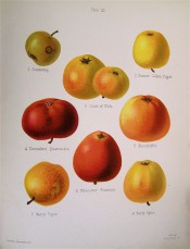 8 varieties of apple are figured here, very variable in size and colour from yellow to red. Herefordshire Pomona pl.21, 1878.
