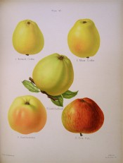 5 apples are illustrated, all conical in shape and yellow-skinned, one red streaked. Herfordshire Pomona pl.4, 1878.