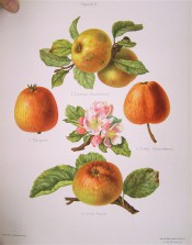 4 varieties of apple are figured here, all yellow, finely striped with strawberry red. Herefordshire Pomona pl.19, 1878.