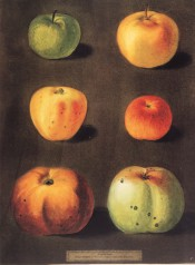 6 varieties of apple are depicted, widely varying, small to large, green to red. Pomona Brittanica pl.93, 1812.