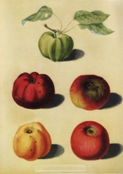 5 apples are illustrated, all large and variable in shape, green, red or yellow-skinned. Pomona Britannica pl.92, 1812.