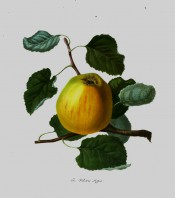 The apple figured is a pale yellow colour, tinged with red. Pomona Londinensis pl.3, 1818.