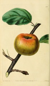 The apple figured is flattish in shape, yellow with an orange flush. Pomological Magazine pl.130, 1830.