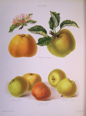 4 varieties of apple are figured here, all yellow-green, some striped with bright red. Herefordshire Pomona pl.25, 1878.