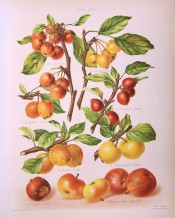 8 apples are illustrated, most of then small crab apples in shades of yellow and red. Herefordshire Pomona pl.75, 1878.