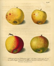 Figured  are 4 apples, all yellow skinned with varying amounts of red streaking. Deutschlands Kernobstsorten t.7, 1833.